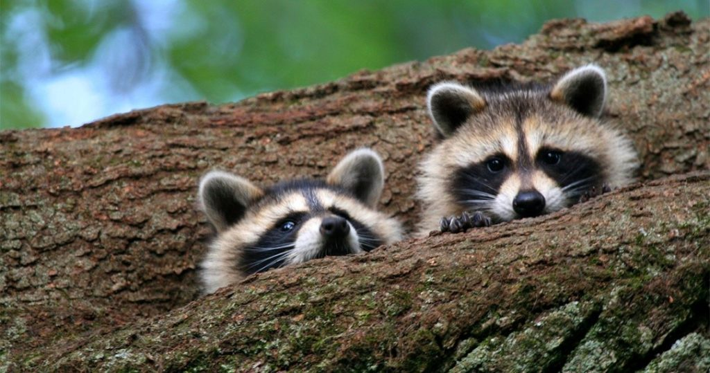 Prevention from raccoons poop