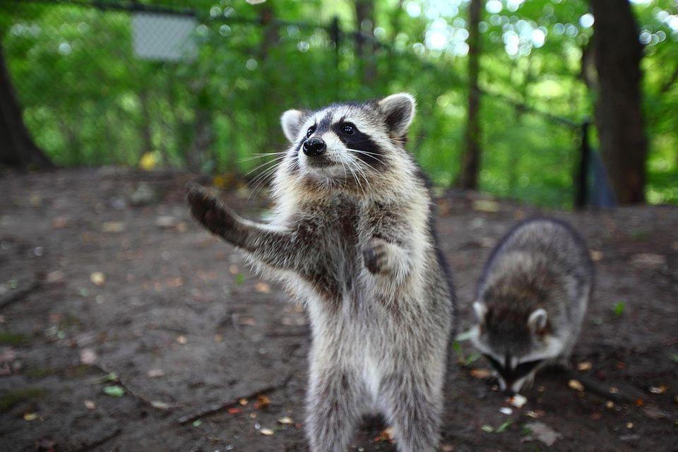Raccoons poop in pools or attics