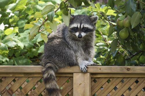 Raccoons present in your yard