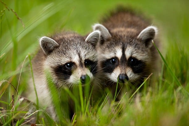 Best Solutions for Your Racoon Problem